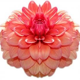 """40""""x40"""" Flower on Acrylic"""