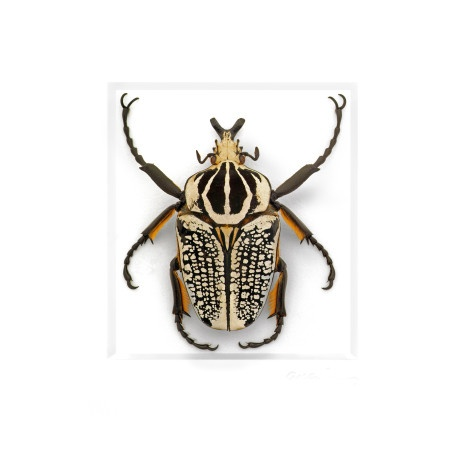 11x14 Ornate Goliath Beetle
