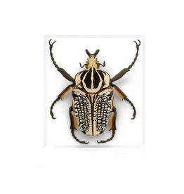 11x14 Ornate Goliath Beetle