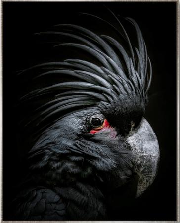Floating Frame Black Cockatoo Black Background