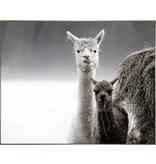 Framed Canvas - Llama's In The Valley