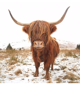 Canvas - Sepia Highland Cow (Large)
