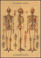 """Italy Cavallini Print, Skeleton, 20"""" x 28"""""""
