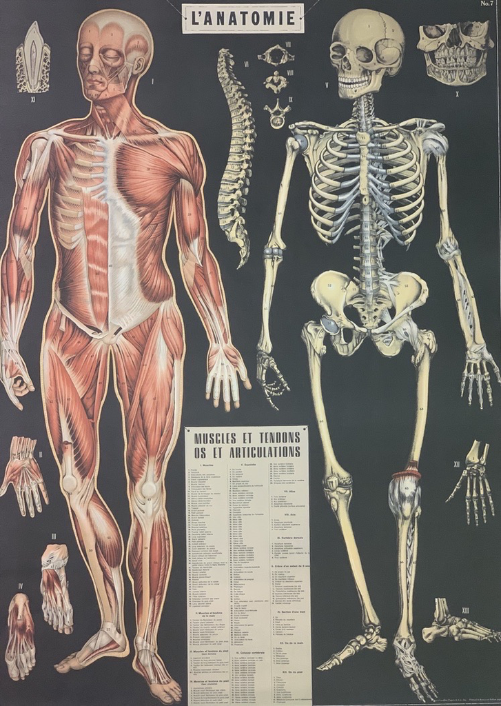 "Italy Cavallini Print, Anatomy, 20"" x 28"""