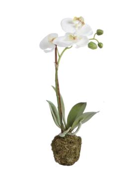 """Phalaenopsis 15"""" Drop-in"""