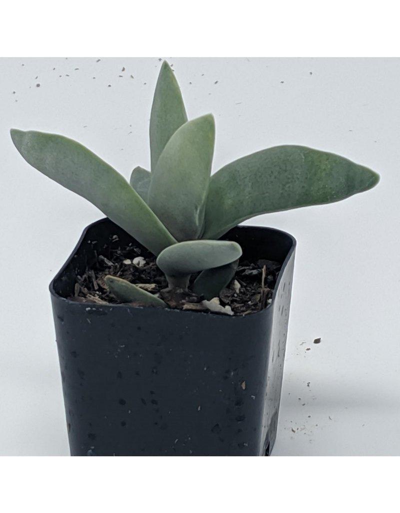 """2"""" Succulent Crassula Perfoliata Var Falcata"""