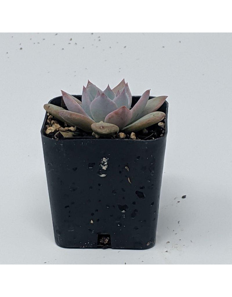 """2"""" Succulent Echeveria Bluebird"""