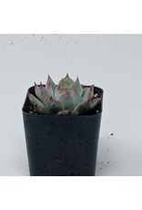 "2"" Succulent Echeveria Colorata"