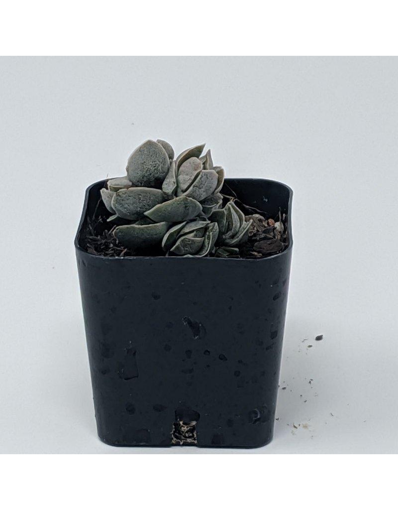 "2"" Succulent Crassula Pangolin"