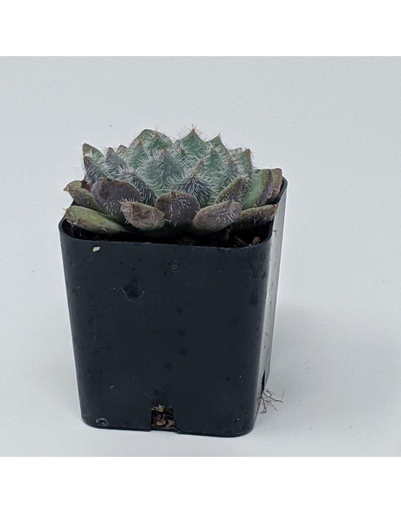 """Premium 2"""" Succulent Graptopetalum Filiferum"""