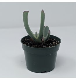 "4"" Succulent Cheiridopsis Sp"