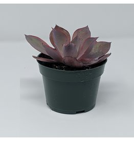 "4"" Succulent Echeveria Afterglow"