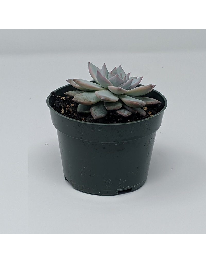 """4"""" Succulent Echeveria Bluebird"""
