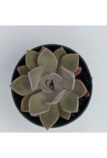 """4"""" Premium Succulent Echeveria Pulvinata"""