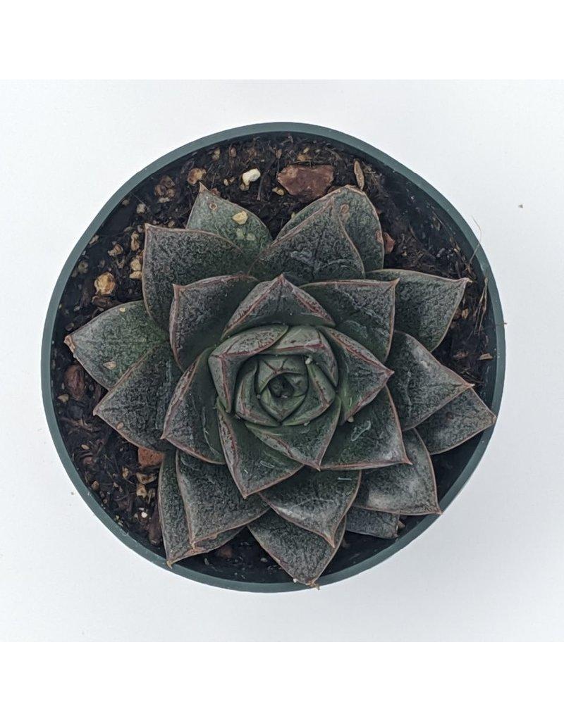 """4"""" Premium Succulent Echeveria Purpusorum"""