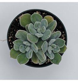 """4"""" Premium Succulent Echeveria Runyonii Hybrid"""