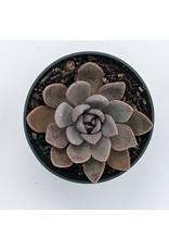 """4"""" Premium Succulent Echeveria Silver Queen"""