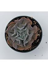 """4"""" Premium Succulent Graptoveria Debbie"""