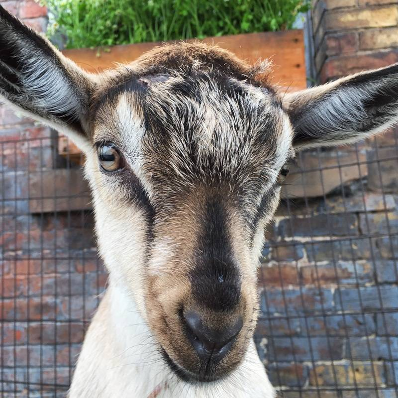 Goats in the City 2016