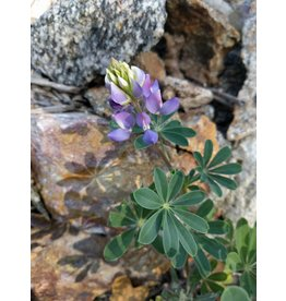 TPF Lupinus succulentus - Arroyo Lupine (Seed)