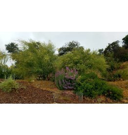 Parkinsonia florida - Blue Paloverde (Seed)