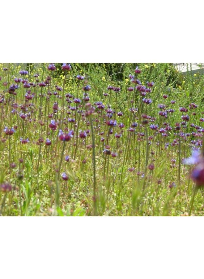 Salvia columbariae - Chia (Seed)