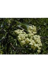 Sambucus nigra ssp. caerulea - Blue Elderberry (Seed)