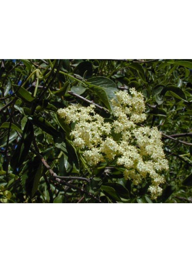 Sambucus nigra ssp. caerulea - Blue Elderberry, Mexican Elderberry (Seed)