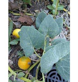 TPF Cucurbita foetidissima - Buffalo Gourd (Seed)