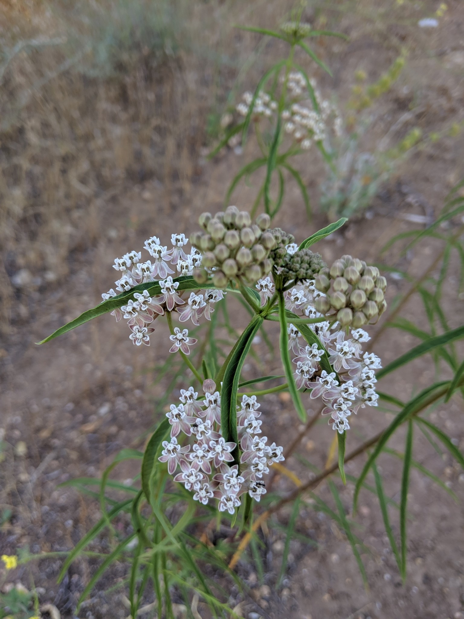 TPF Asclepias fascicularis - Narrowleaf Milkweed (Seed)