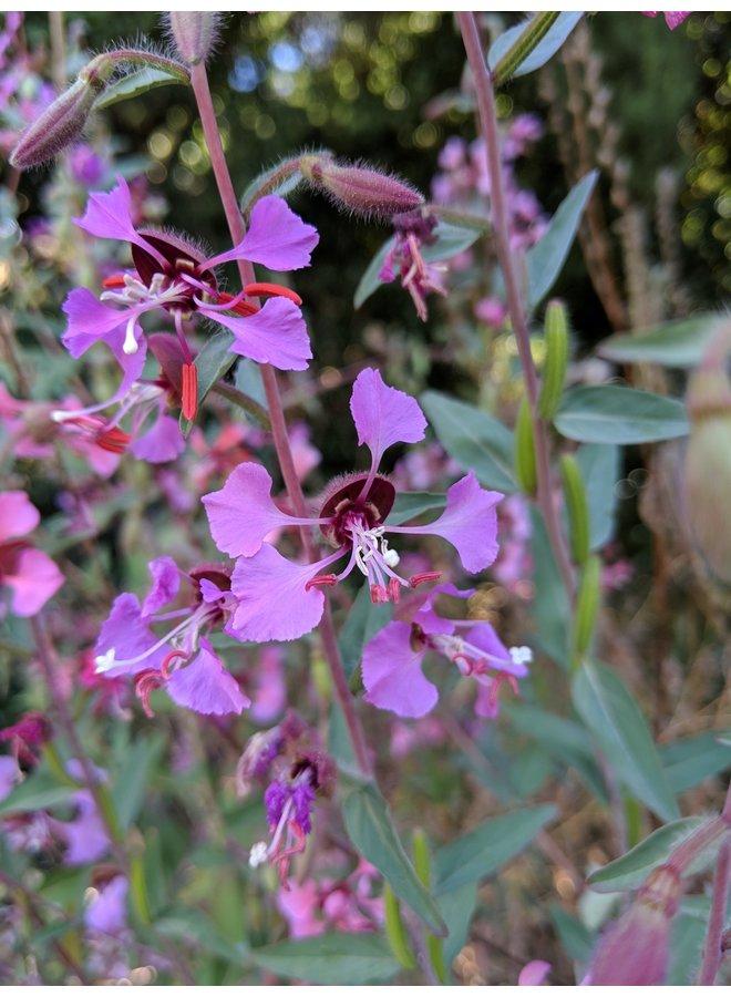 Clarkia unguiculata - Elegant Clarkia (Seed)