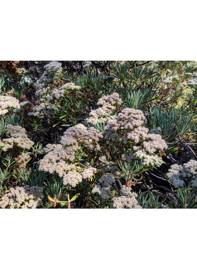 Eriogonum arborescens - Santa Cruz Island Buckwheat (Seed)