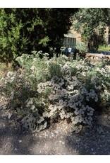 TPF Eriogonum arborescens - Santa Cruz Island Buckwheat (Seed)