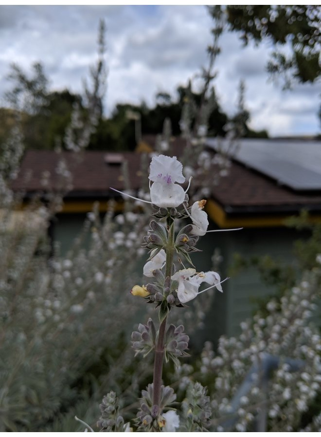 Salvia apiana - White Sage (Seed)