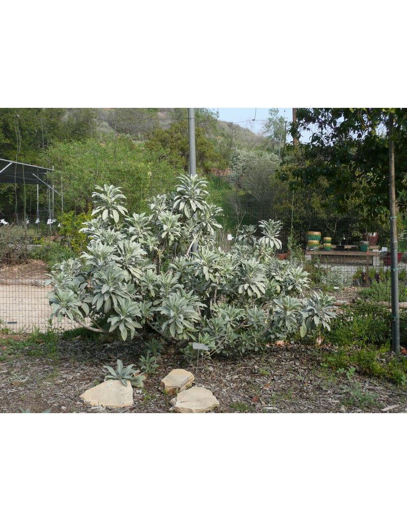 TPF Salvia apiana - White Sage (Seed)