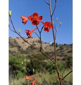 TPF Delphinium cardinale - Scarlet Larkspur (Seed)
