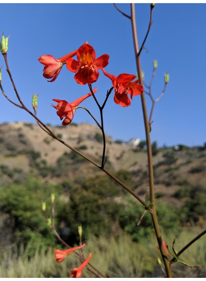 Delphinium cardinale - Scarlet Larkspur (Seed)