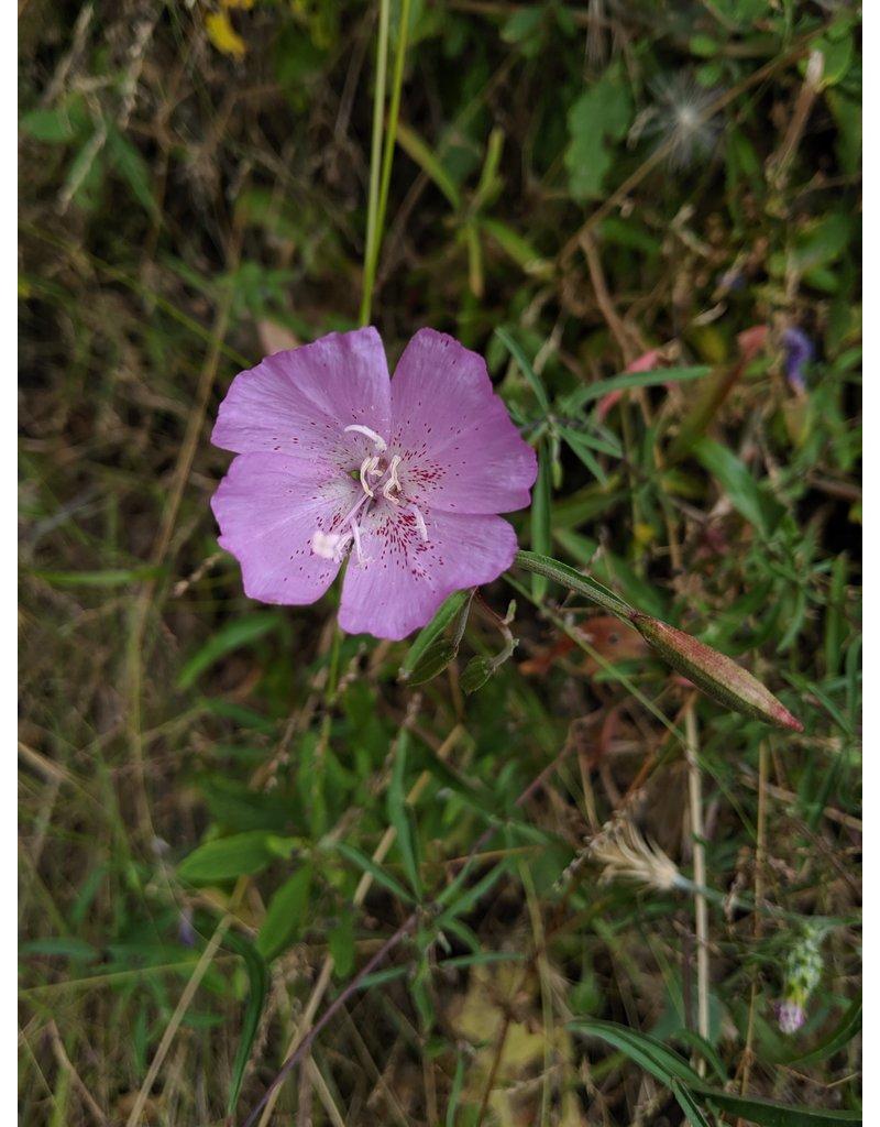 Clarkia bottae - Botta's clarkia (Seed)