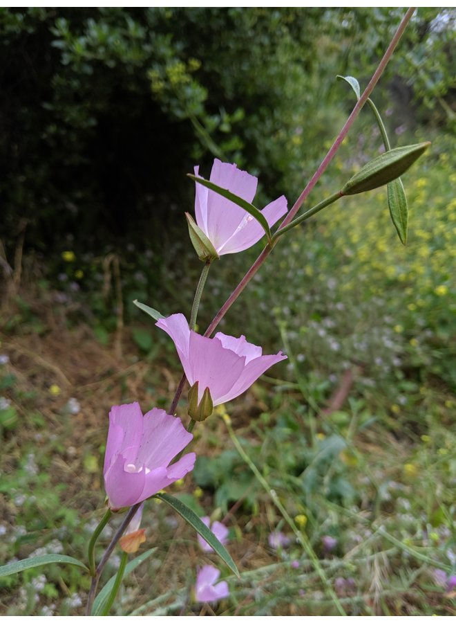 Clarkia bottae - Botta's Clarkia, Punch Bowl Godetia (Seed)