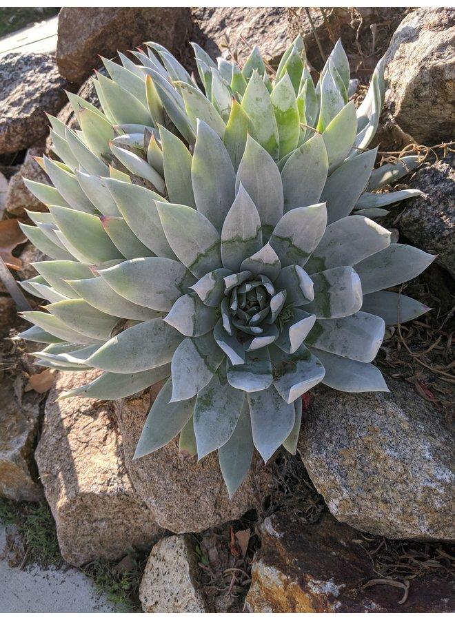 Dudleya pulverulenta x brittonii - Dudleya Hybrid (Seed)
