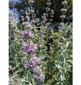 Salvia leucophylla (x) - Purple Sage Hybrid (Seed)