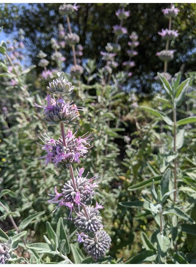 Salvia leucophylla x - Purple Sage Hybrid (Seed)