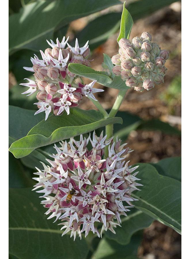 Asclepias speciosa - Showy Milkweed (Seed)