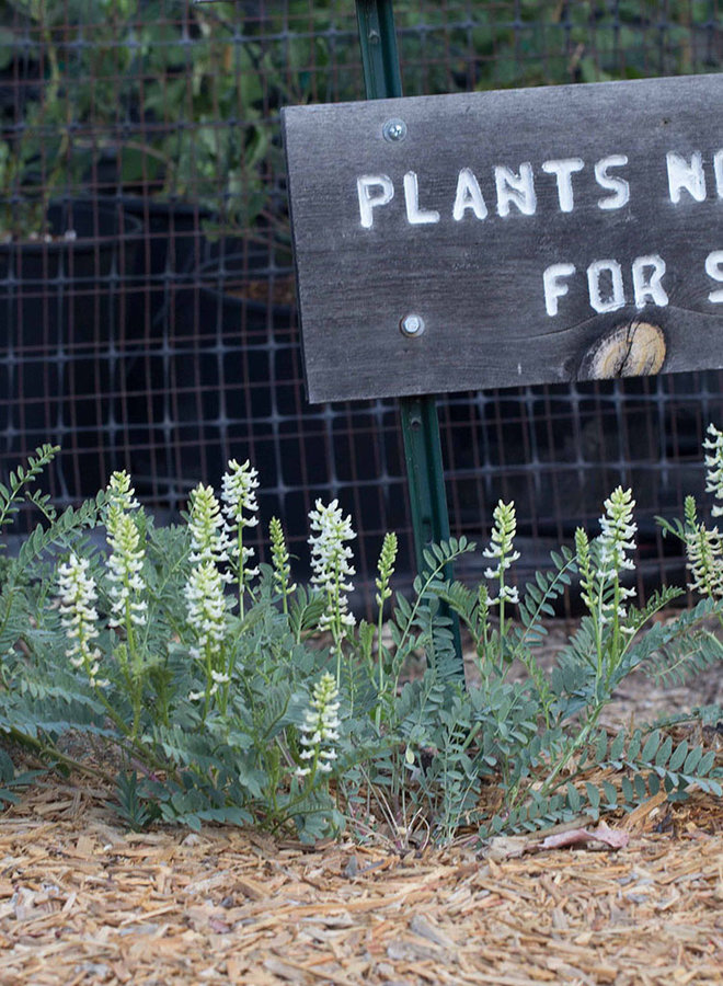 Astragalus pomonensis - Pomona Milkvetch, Pomona Locoweed (Seed)