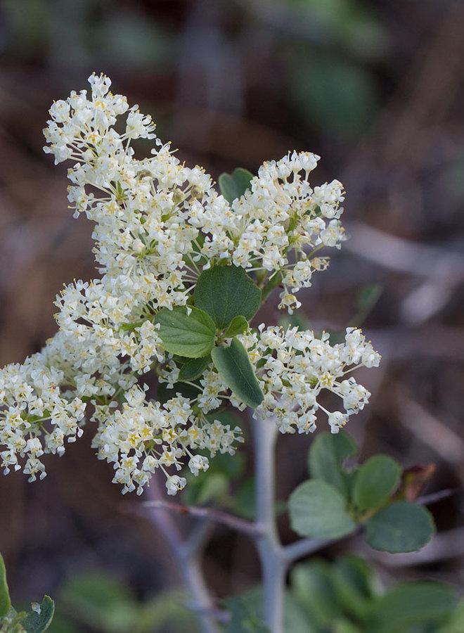 Ceanothus cordulatus - Mountain Whitethorn, Snow Bush (Seed)