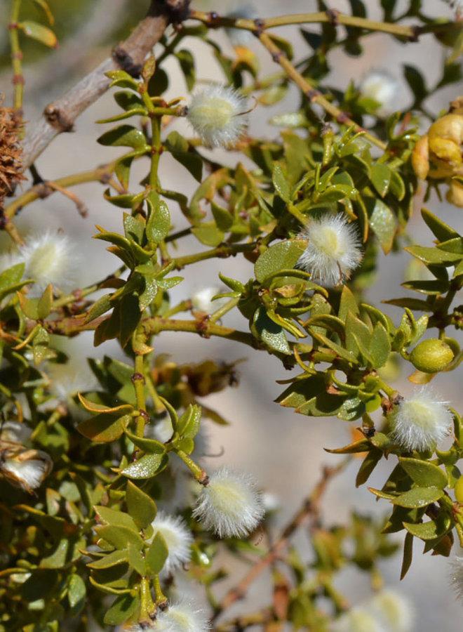 Larrea tridentata - Creosote Bush (Seed)
