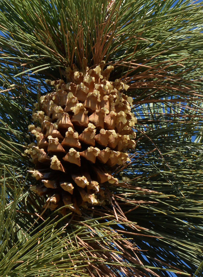 Pinus coulteri - Coulter Pine, Big Cone Pine, Bull Pine, Pitch Pine (Seed)