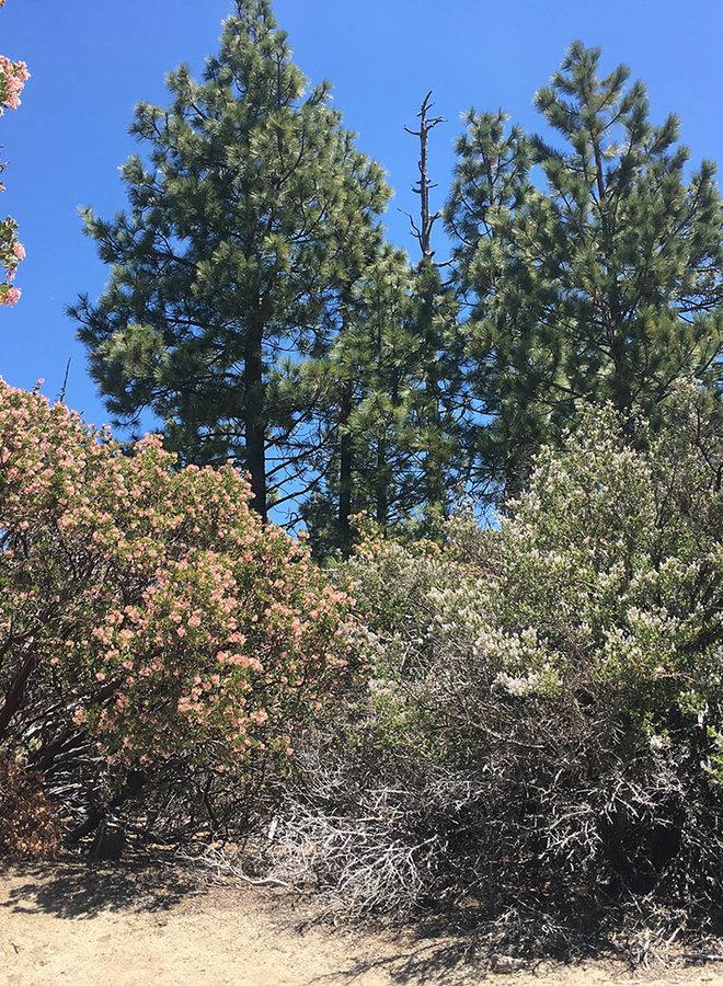 Pinus ponderosa - Ponderosa Pine (Seed)