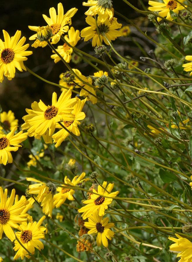 Encelia californica - Coast Sunflower, California Bush Sunflower (Seed)