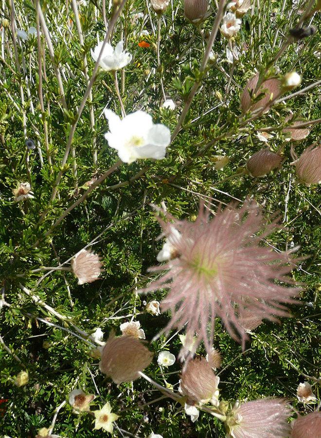 Fallugia paradoxa - Apache Plume (Seed)
